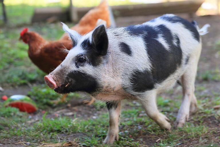 Where Pigs Fly Sanctuary Tour