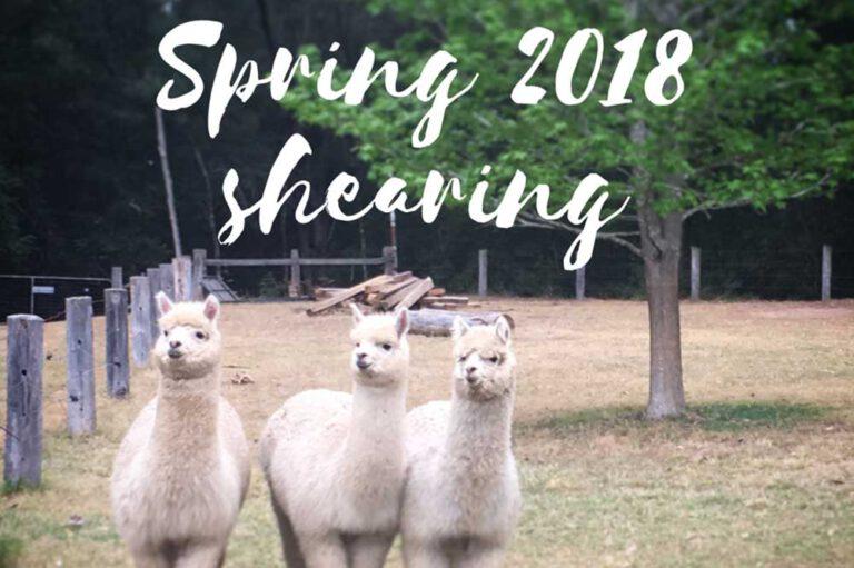 Spring Shearing 2018, Little Valley Farm, Hunter Valley