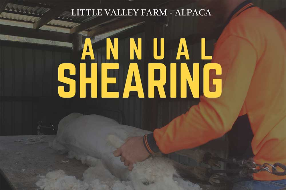Shearing Weekend at Little Valley Farm
